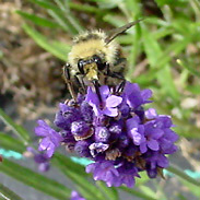 Lavender (Lavandula sp.) flowers with a Bumblebee (Bombus sp.)