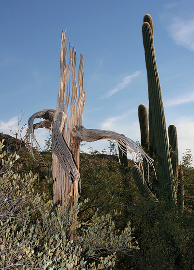 Dead Saguaro (Carnegiea gigantea) next to a living one