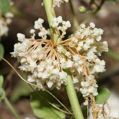 Dodder (Cuscuta sp.) flowers