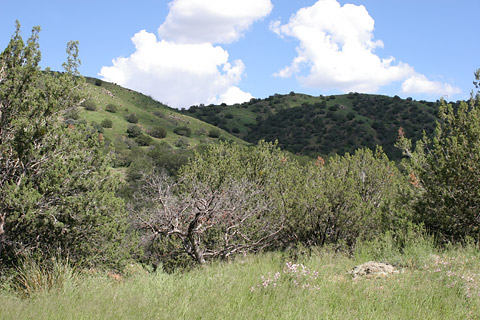 Juniper grassland in the foothills of the Santa Rita Mountains of Arizona