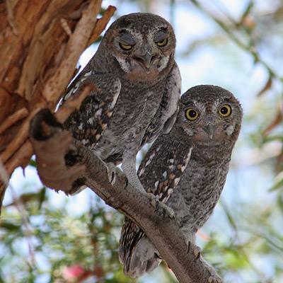 Juvenile Elf Owls (Micrathene whitneyi)