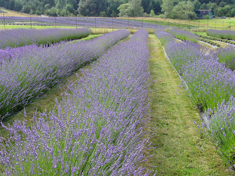 Field of Lavender (Lavandula sp.) on the Pelindaba Farm on San Juan Island, Washington