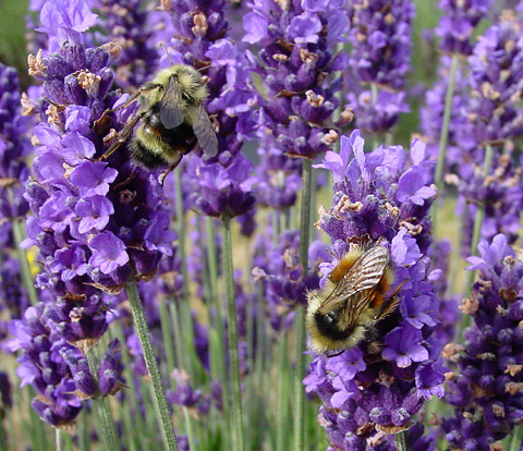 Lavender (Lavandula sp.) flowers with Bumblebees (Bombus sp.)