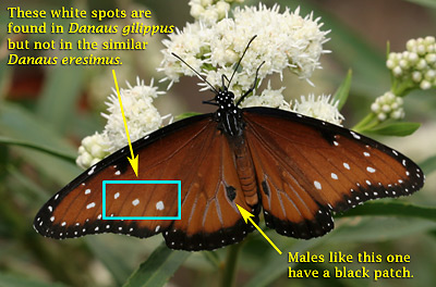 Male Queen (Danaus gilippus) butterfly identification