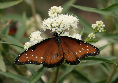 Male Queen (Danaus gilippus) butterfly on Mule's Fat or Seep-willow (Baccharis salicifolia) flowers