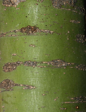 Green bark of a Yellow Paloverde (Parkinsonia microphylla)