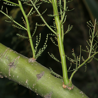 Green bark and leaves of a Yellow Paloverde (Parkinsonia microphylla)