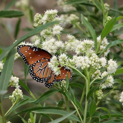 Queen (Danaus gilippus) butterfly on Mule's Fat or Seep-willow (Baccharis salicifolia) flowers