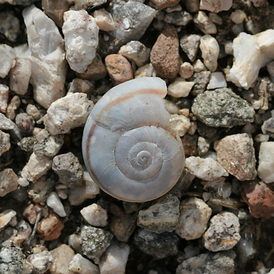 Snail shell found in the Sonoran Desert