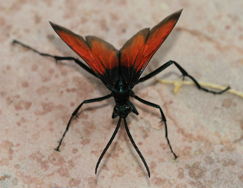 Drunken Tarantula Hawk (Pepsis sp.) with open wings