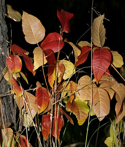 Western Poison Ivy (Toxicodendron rydbergii) fall foliage