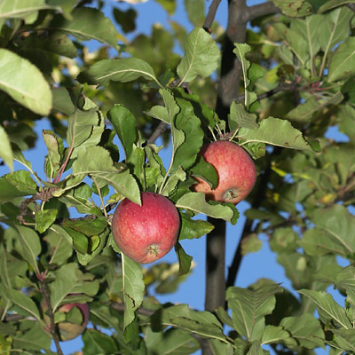 Wild Apples (Malus pumila, formerly Malus domestica)