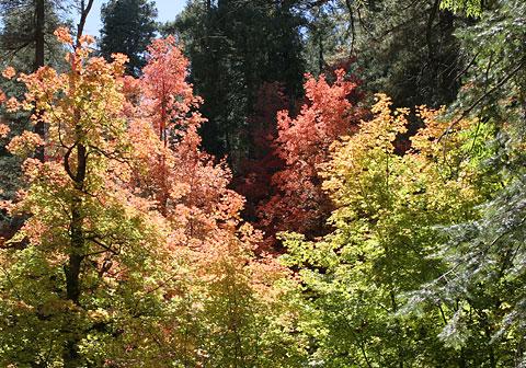 Bigtooth Maples (Acer grandidentatum)