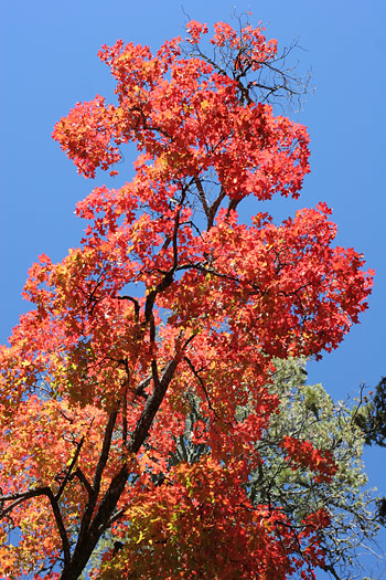 Bigtooth Maple (Acer grandidentatum) with bright scarlet leaves