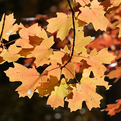 Bigtooth Maple (Acer grandidentatum) autumn leaves