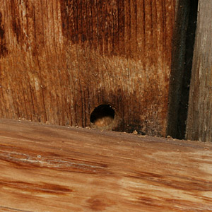 Carpenter bee (Xylocopa spp.) hole in exterior wood