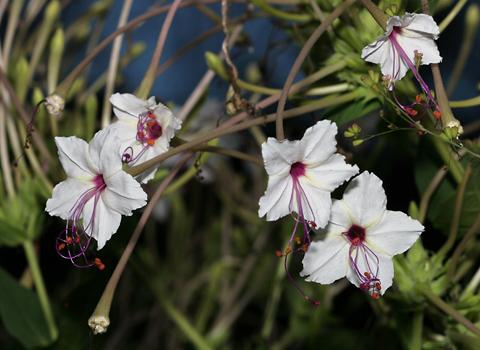 Mirabilis longiflora (Sweet Four O'Clock or Maravilla)
