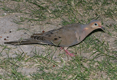 Male Mourning Dove (Zenaida macroura)