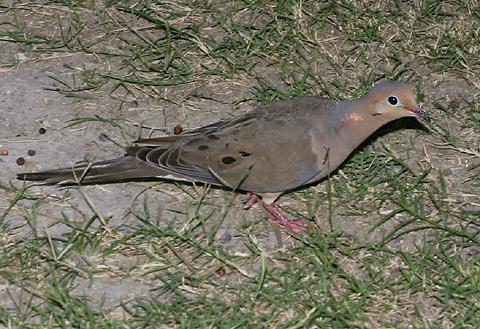 Male Mourning Dove (Zenaida macroura)