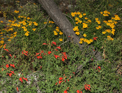 October Wildflowers in Arizona's Santa Catalina Mountains