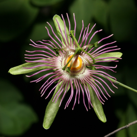 A faded Mexican Passionflower (Passiflora mexicana) flower