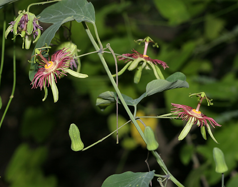 Mexican Passionflower (Passiflora mexicana)
