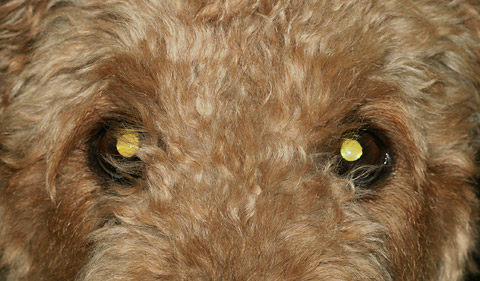 Airedale Terrier with yellow-eye
