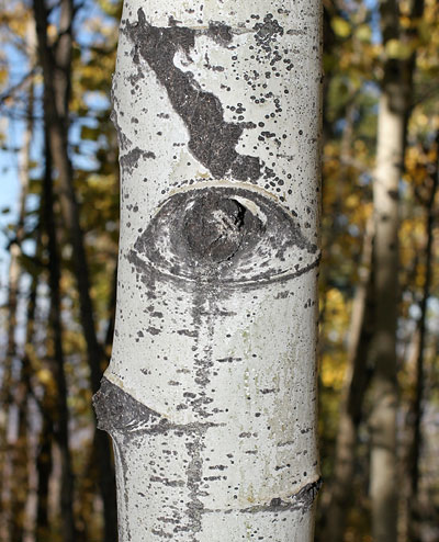 Quaking Aspen (Populus tremuloides) eye
