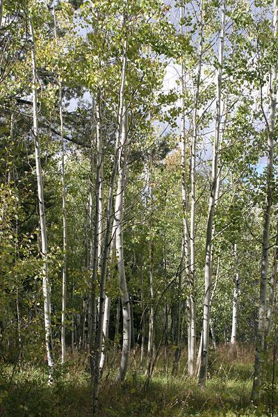 Quaking Aspens (Populus tremuloides)