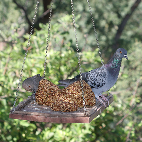 Blue Checker Rock or Common Pigeon (Columba livia) and a Curve-billed Thrasher (Toxostoma curvirostre)