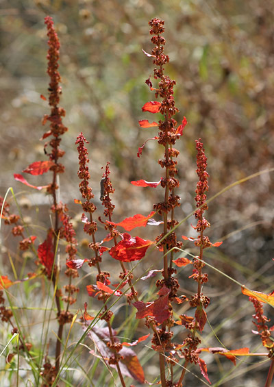 Cold-stressed, red autumn weeds
