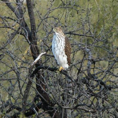 Immature Cooper's Hawk (Accipiter cooperii)