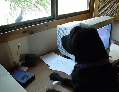 Labrador Retriever looking out the window at a dove