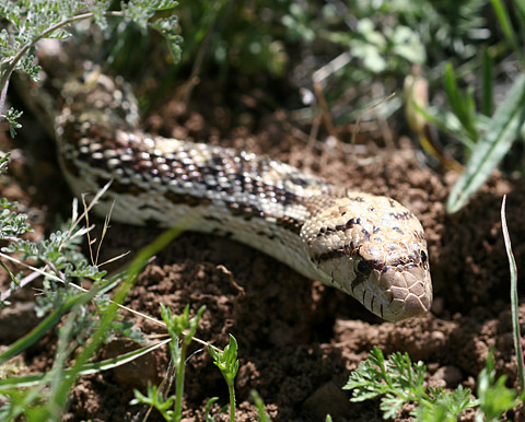 Gopher Snake (Pituophis catenifer) in the grass