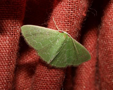 Southern Emerald Moth (Synchlora frondaria)