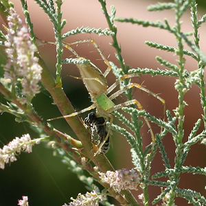 Green Lynx Spider (Peucetia viridans) eating a bee