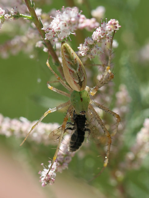 Green Lynx Spider (Peucetia viridans) with a captured bee