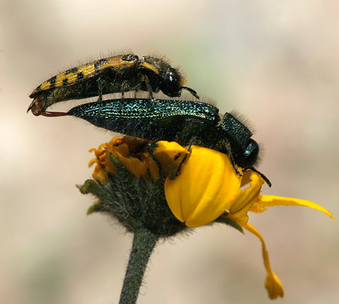 A female Acmaeodera resplendens and a male Yellow-marked Buprestid (Acmaeodera decipiens) mating