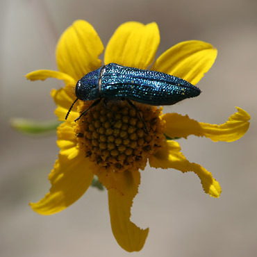 Green metallic beetle (Acmaeodera resplendens) on a partially-eaten flower