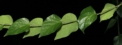 Alternate leaves on a Netleaf Hackberry (Celtis laevigata var. reticulata)