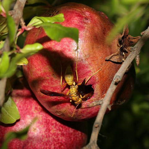 Paper Wasp (Polistes sp.) on a Pomegranate (Punica granatum) fruit