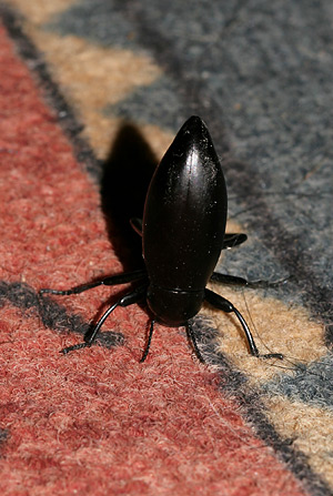 Stink Beetle or Pinacate Beetle (Eleodes sp.)