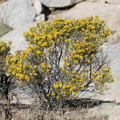 Turpentine bush (Ericameria laricifolia)