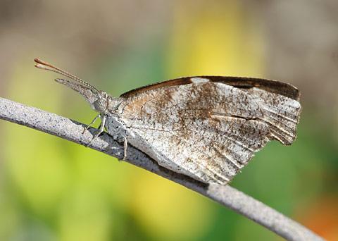 American Snout (Libytheana carinenta) butterfly