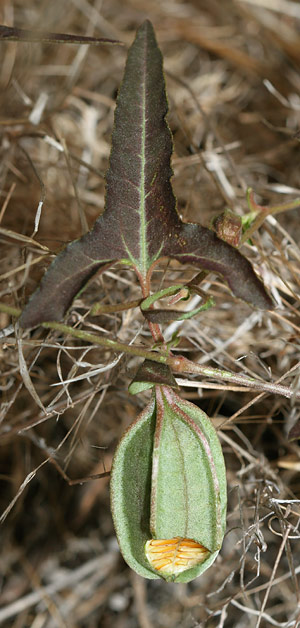 Watson's Dutchman's Pipe or Southwestern Pipevine (Aristolochia watsonii) fruit