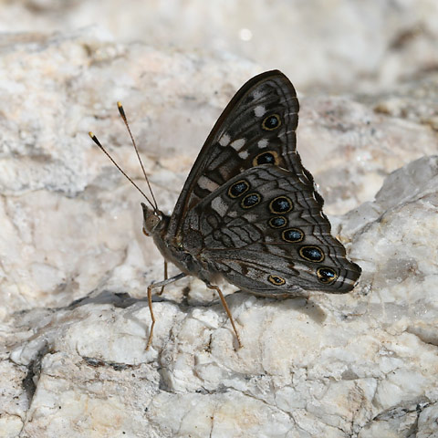 Empress Leilia butterfly (Asterocampa leilia)