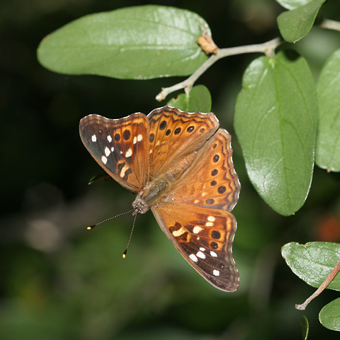 Empress Leilia butterfly (Asterocampa leilia) on a Spiny Hackberry (Celtis ehrenbergiana)
