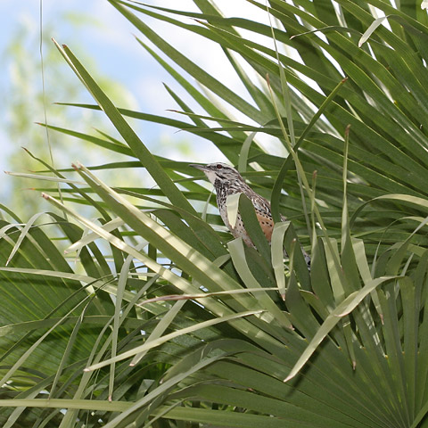 Cactus Wren (Campylorhynchus brunneicapillus) in a Mediterranean Fan Palm (Chamaerops humilis)
