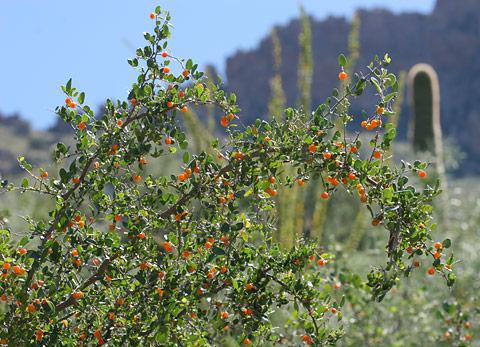 Spiny Hackberry (Celtis ehrenbergiana, formerly Celtis pallida)