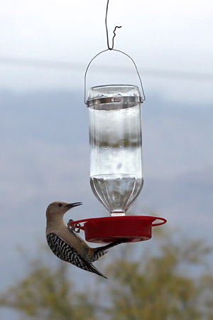 Gila Woodpecker (Melanerpes uropygialis) at a hummingbird feeder